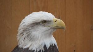 Balt Eagle